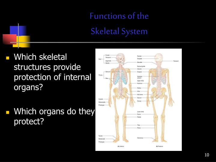 PPT - 1.03 Understand the functions and disorders of the skeletal ...