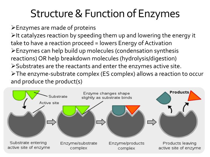 struture and functions of enzymes