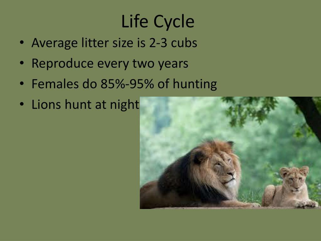 PPT - Africa Lion PowerPoint Presentation - ID:2141093