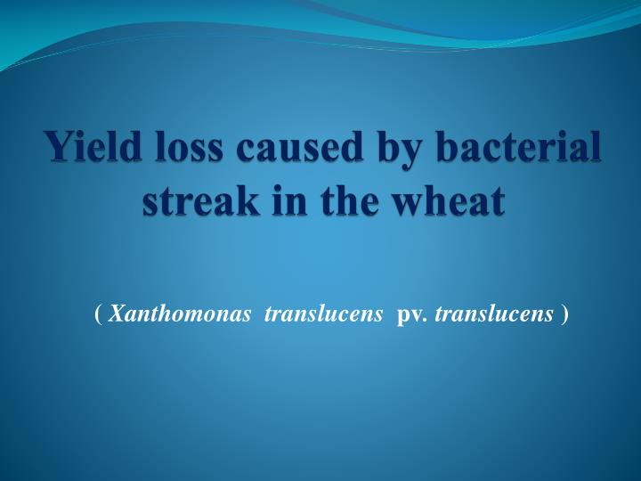 yield loss caused by bacterial streak in the wheat n.