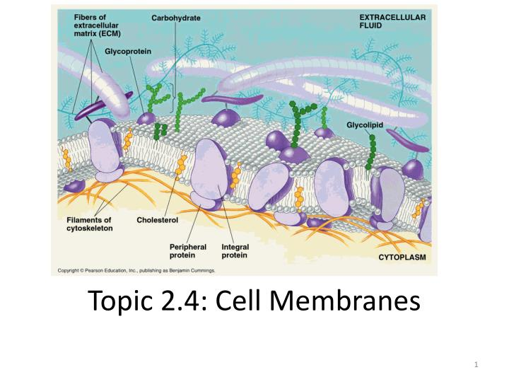 topic 2 4 cell membranes n.