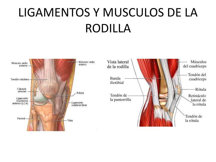 Increíble Rasgado Ligamento De La Rodilla Colateral Lateral ...