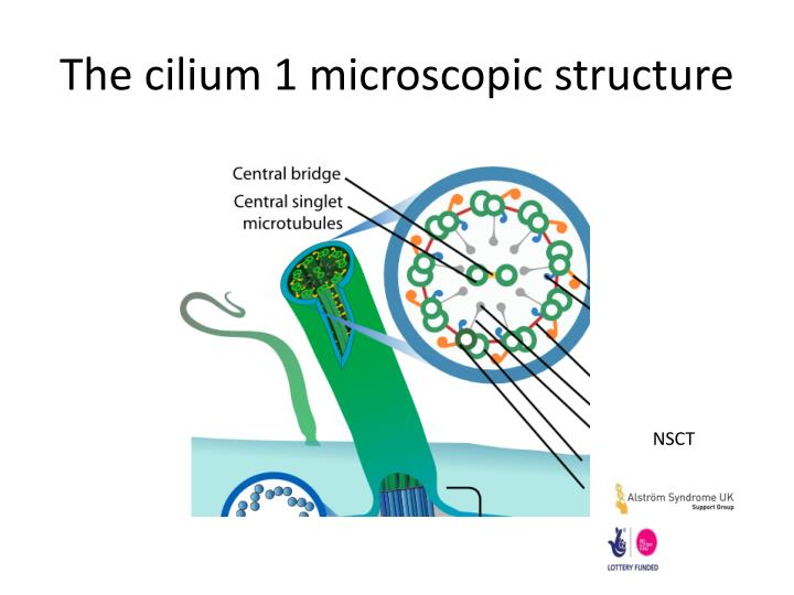 the cilium 1 microscopic structure n.