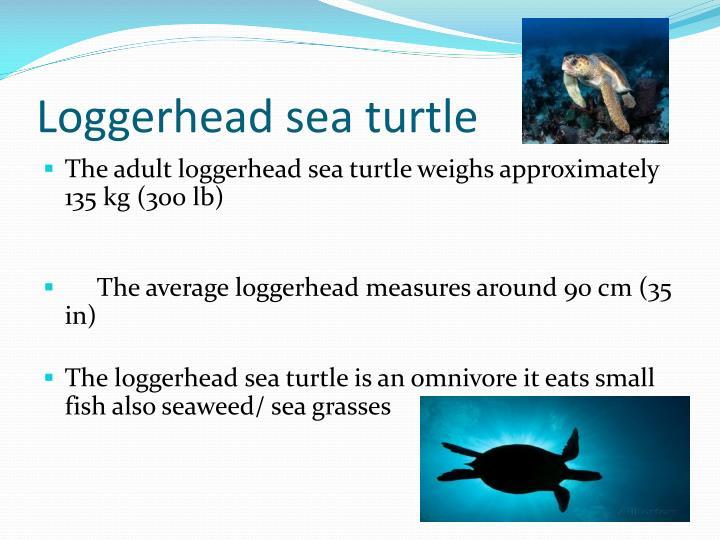 Loggerhead sea turtle1