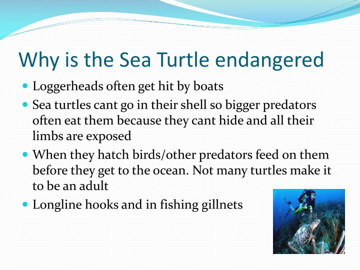 Why is the Sea Turtle endangered