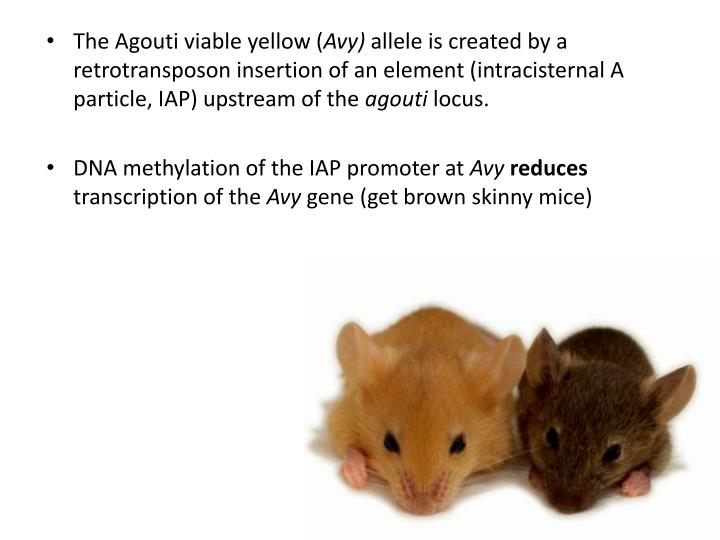 The Agouti viable yellow (