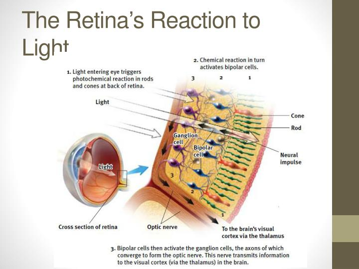 The Retina's Reaction to Light