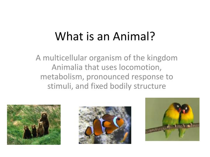 what is an animal n.