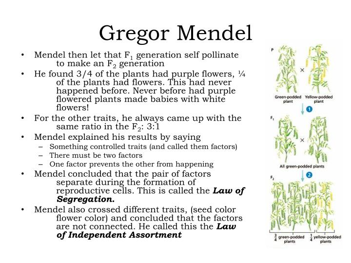Famous Die Arbeit Von Gregor Mendel Arbeitsblatt Adornment ...