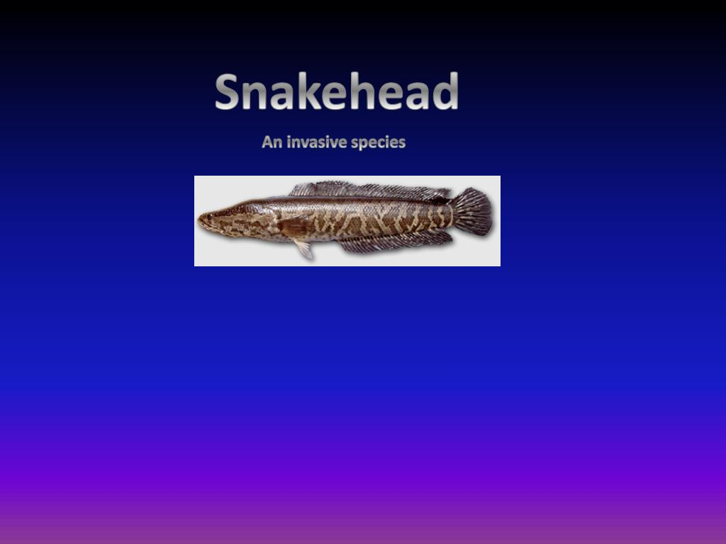 PPT - Snakehead PowerPoint Presentation - ID:2151170
