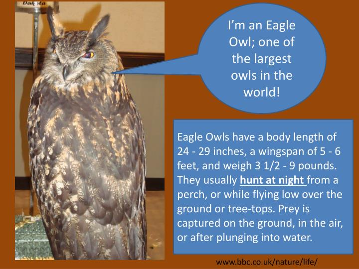 I'm an Eagle Owl; one of the largest owls in the world!