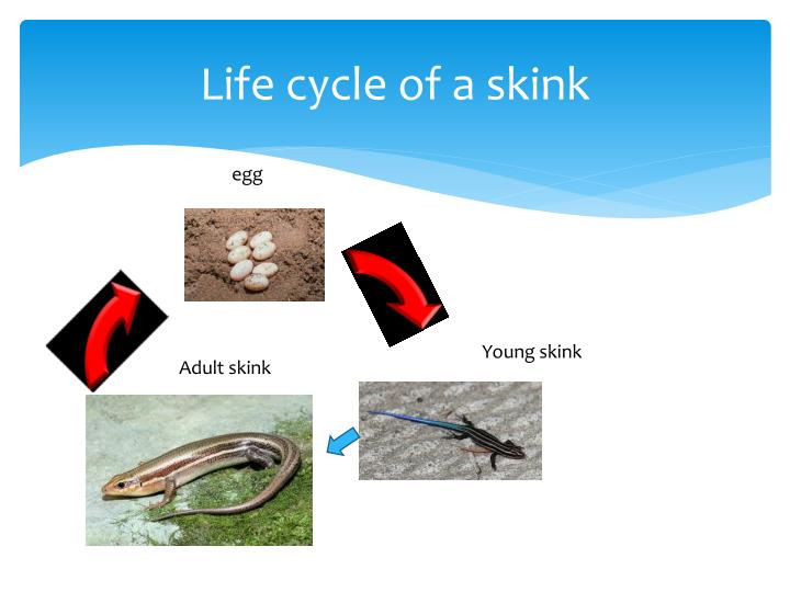 Life cycle of a skink