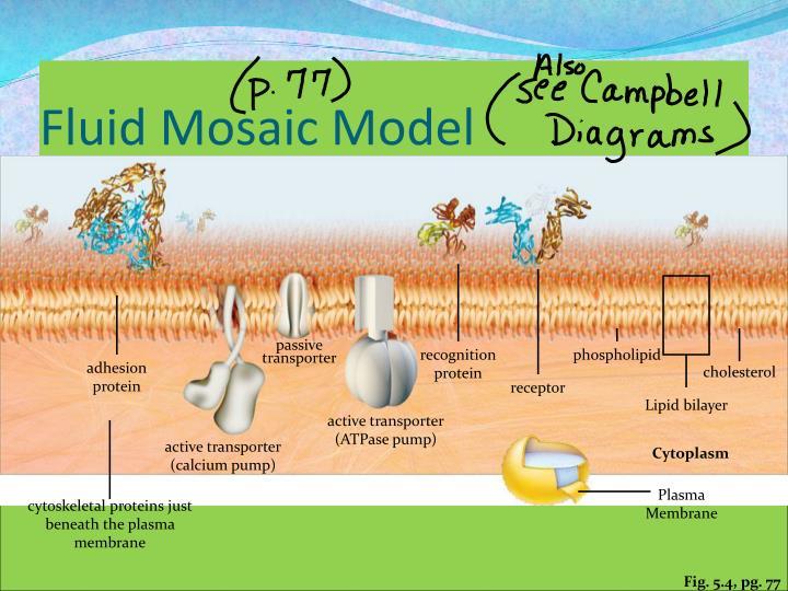 Fluid Mosaic Model