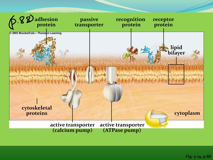 adhesion protein