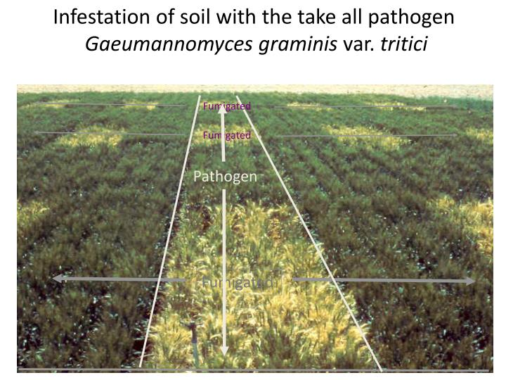 Infestation of soil with the take all pathogen