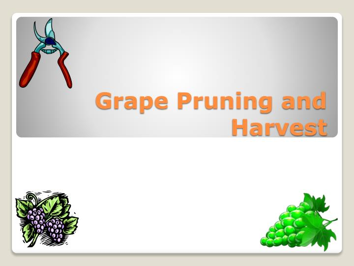 grape pruning and harvest n.