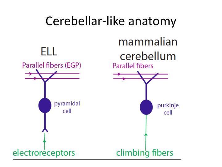 Cerebellar-like anatomy