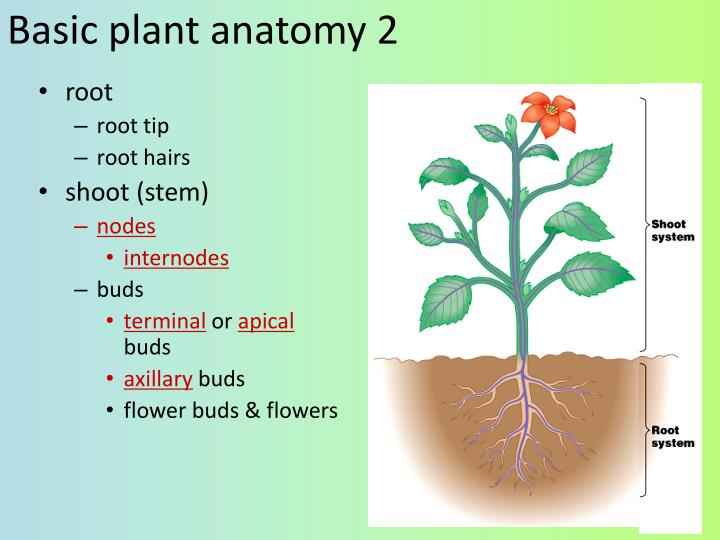 Ppt Plant Anatomy Ch 35 Powerpoint Presentation Id2160639