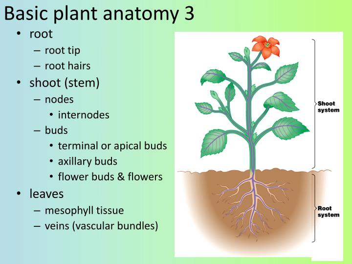 Ppt Plant Anatomy Ch 35 Powerpoint Presentation Id2160639