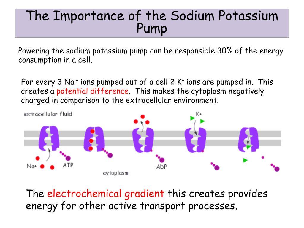 PPT - Section 3 Lesson 3 – The Sodium Potassium Pump
