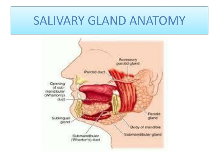 Ppt Salivary Glands Powerpoint Presentation Id2161716