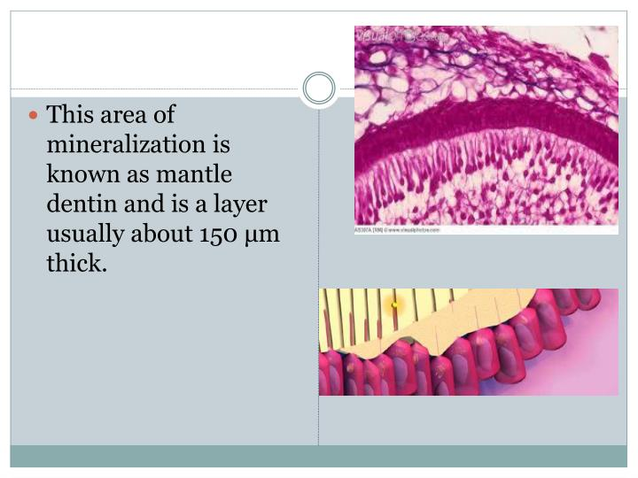 This area of mineralization is known as mantle dentin and is a layer usually about 150