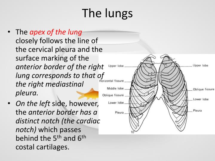 Anatomy of lungs ppt