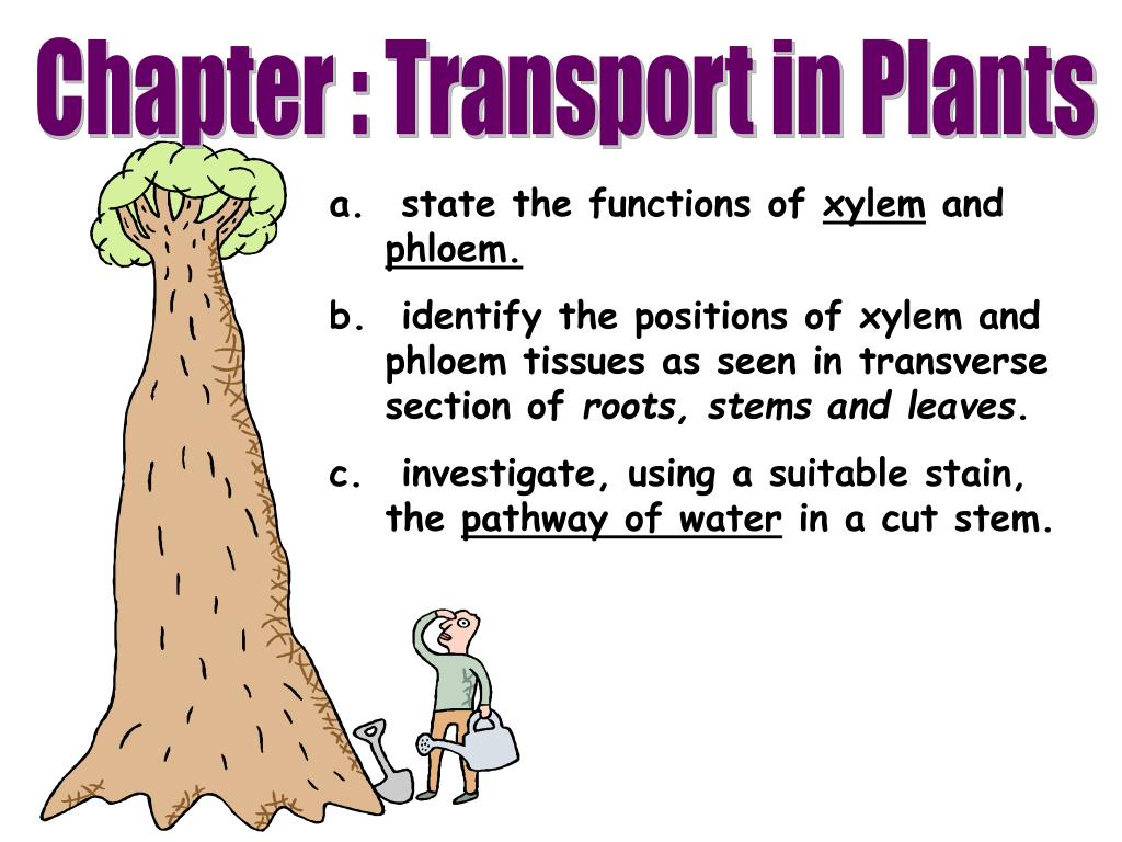 PPT - state the functions of xylem and phloem. PowerPoint ...