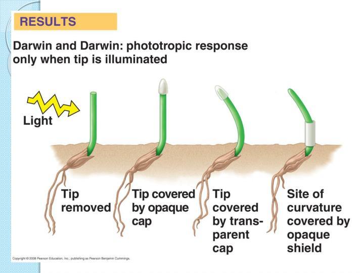 Phototropism - Mechanism