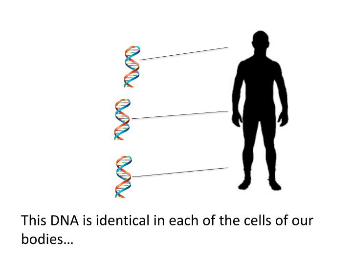This DNA is identical in each of the cells of our bodies…