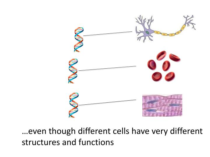 …even though different cells have very different structures and functions