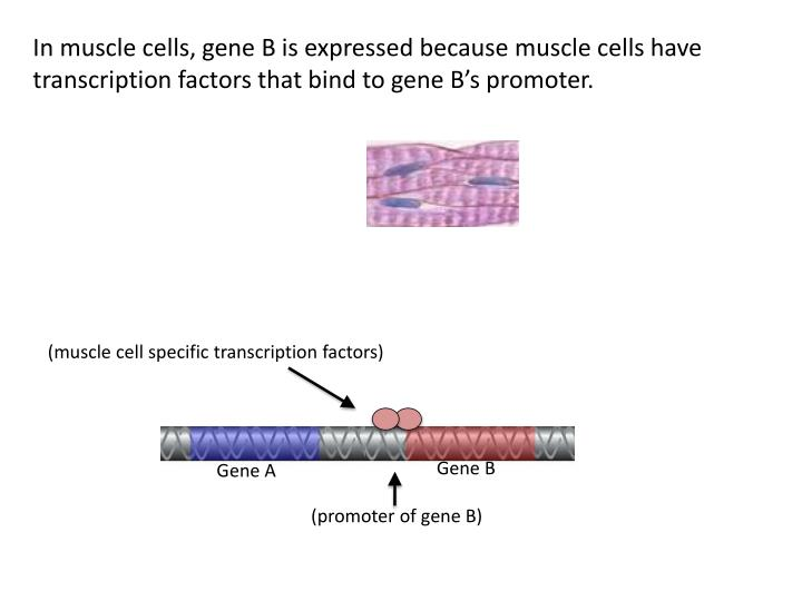 In muscle cells, gene B is expressed because muscle cells have transcription factors that bind to gene B's promoter.