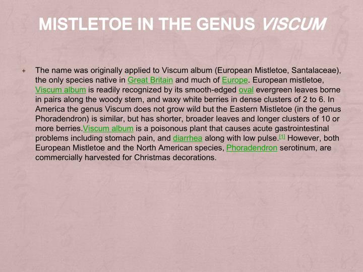 Mistletoe in the genus viscum