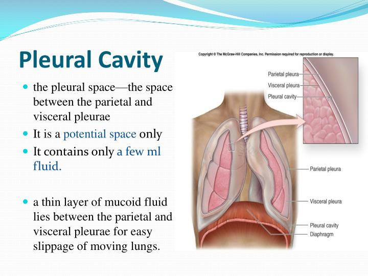 File Serous Membrane moreover Definition And Types Of Hernia Repair as well Oral Cavity Anatomy further Mechanism Of Pericarditis In Acute Rheumatic Fever moreover 3404578. on visceral cavity