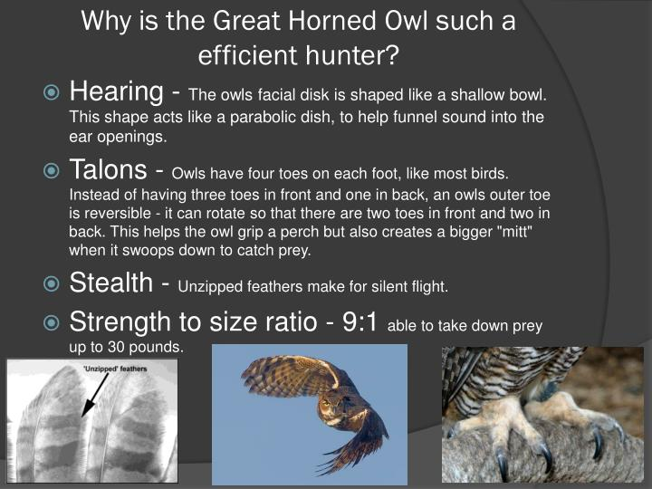 Why is the Great Horned Owl such a efficient hunter?