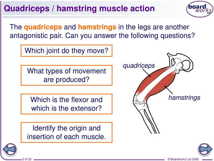 Quadriceps / hamstring muscle action