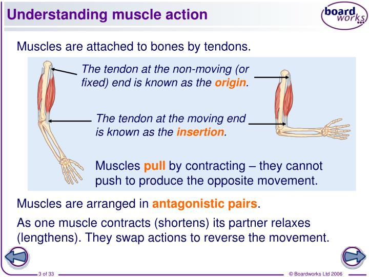 Understanding muscle action