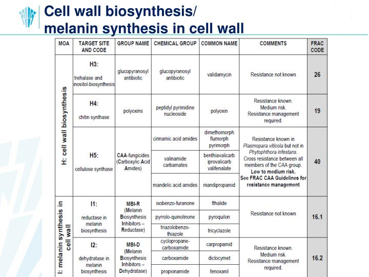 Cell wall biosynthesis/