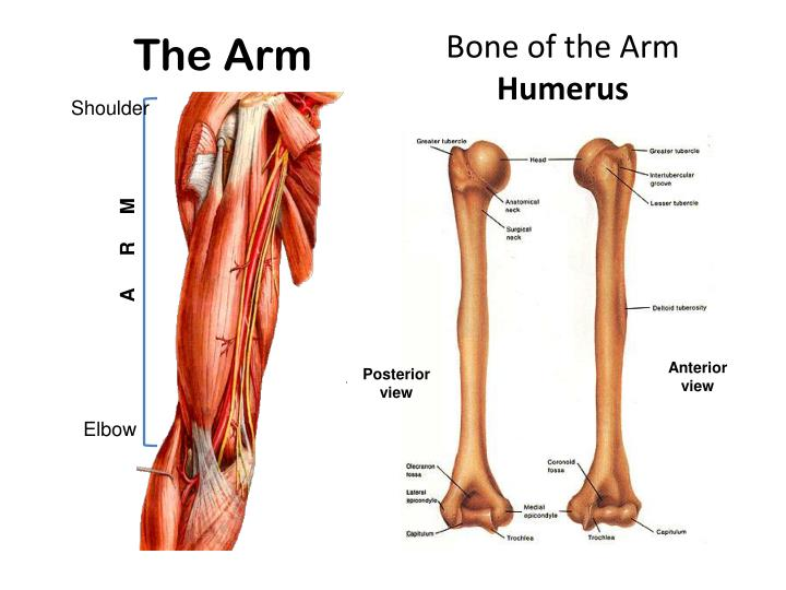 Ppt Muscles Of The Arm And Cubital Fossa Powerpoint Presentation