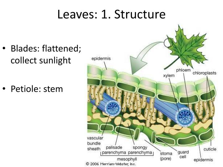 Leaves: 1. Structure