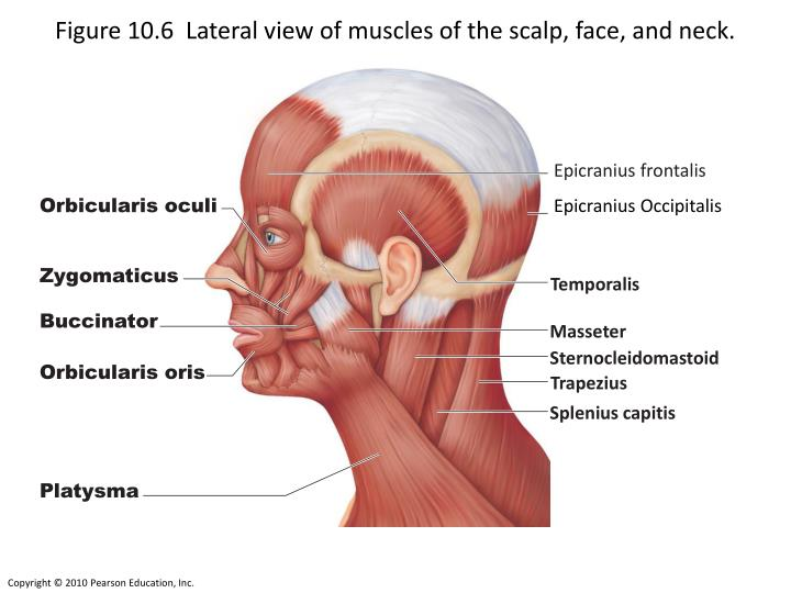 PPT - Figure 10.6 Lateral view of muscles of the scalp, face, and ...