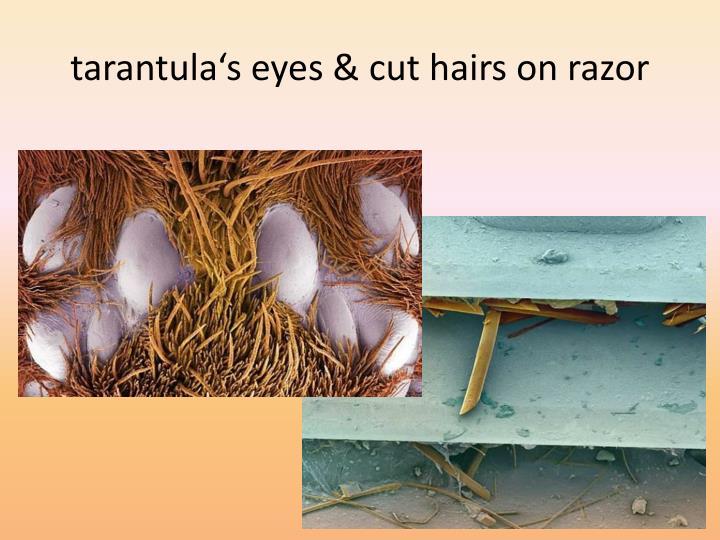 tarantula's eyes & cut hairs on razor
