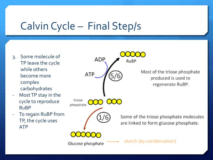 Calvin Cycle –  Final Step/s