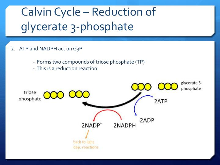 Calvin Cycle – Reduction of