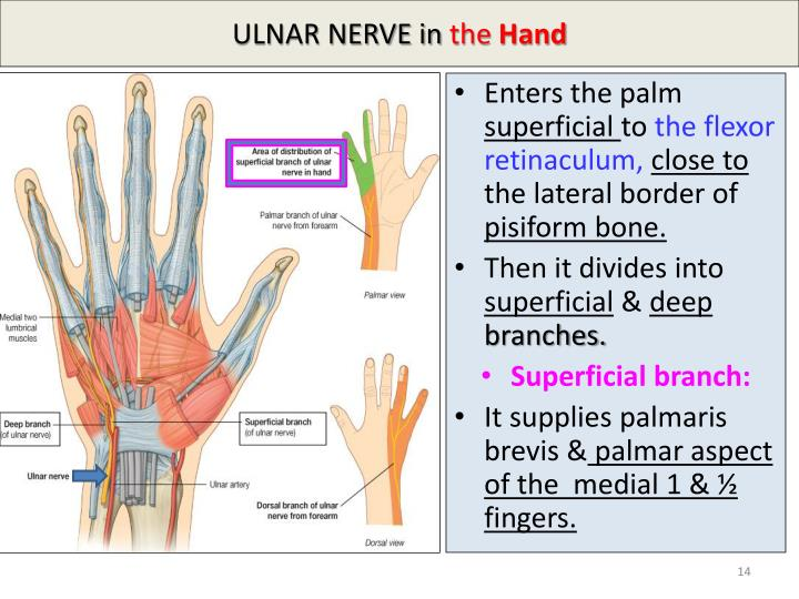 PPT - MEDIAN & ULNAR NERVES PowerPoint Presentation - ID:2171459