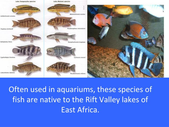 Often used in aquariums, these species of fish are native to the Rift Valley lakes of East Africa.