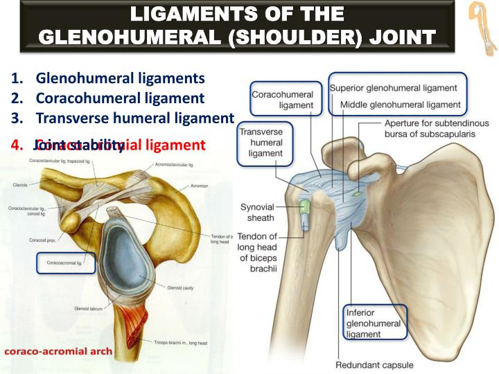 LIGAMENTS OF THE