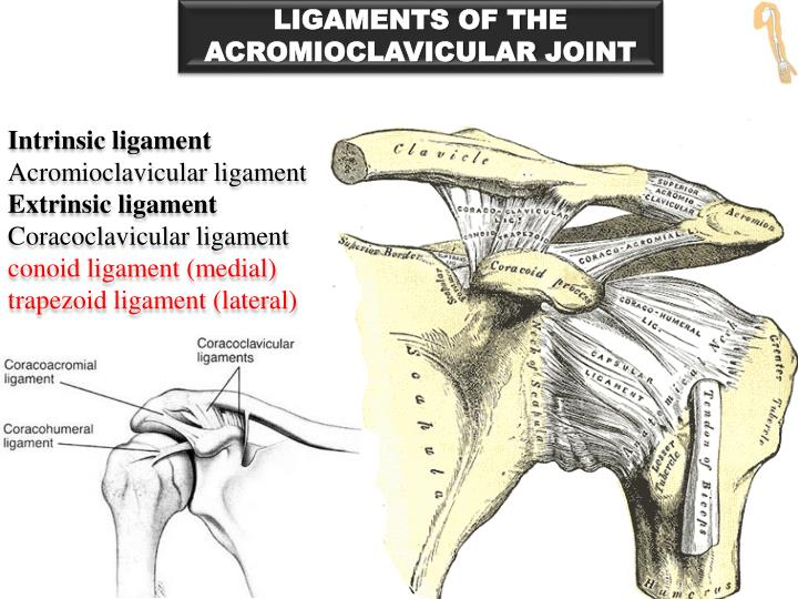 LIGAMENTS OF THE ACROMIOCLAVICULAR