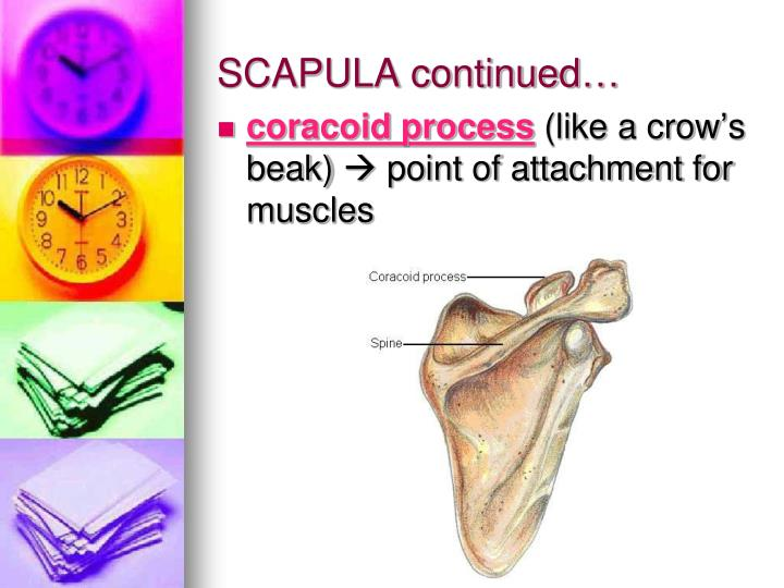 SCAPULA continued…