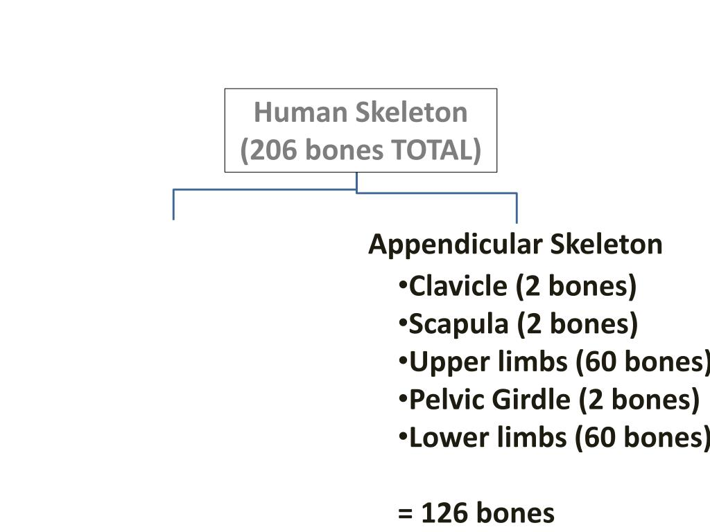 PPT - I  General Information about the Skeletal System A